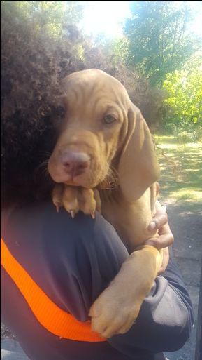 Vizsla puppy for sale in ACCOKEEK, MD. ADN-47211 on PuppyFinder.com Gender: Male. Age: 9 Weeks Old