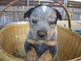 I have always loved blue and red heelers but this blue heeler puppy is the cutest dog EVER!!!!!<3