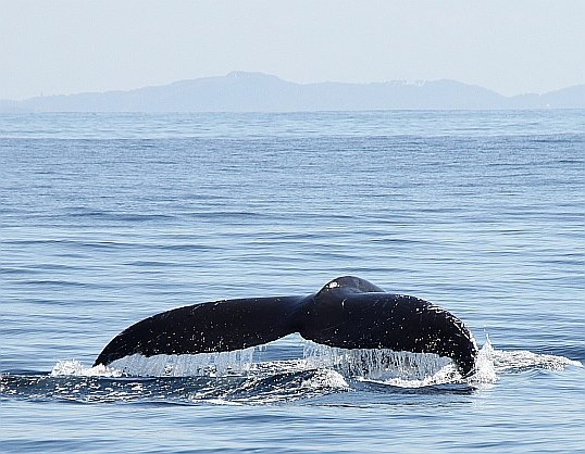 Whales passing Byron Bay - australia