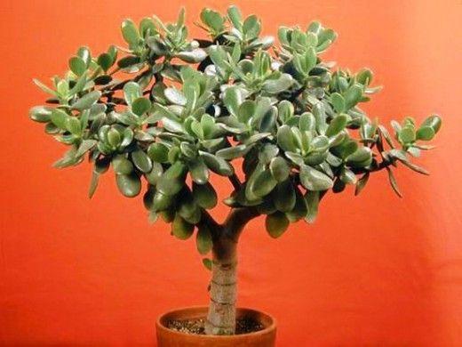 Толстянка (Крассула), Денежное дерево