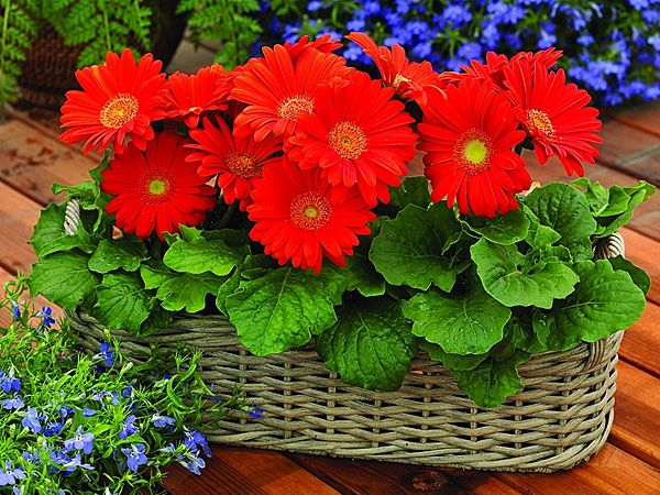 Gerber Daisies, annual, summer-frost bloom, plant in spring as seed or plant, in pots or ground, sun/ps