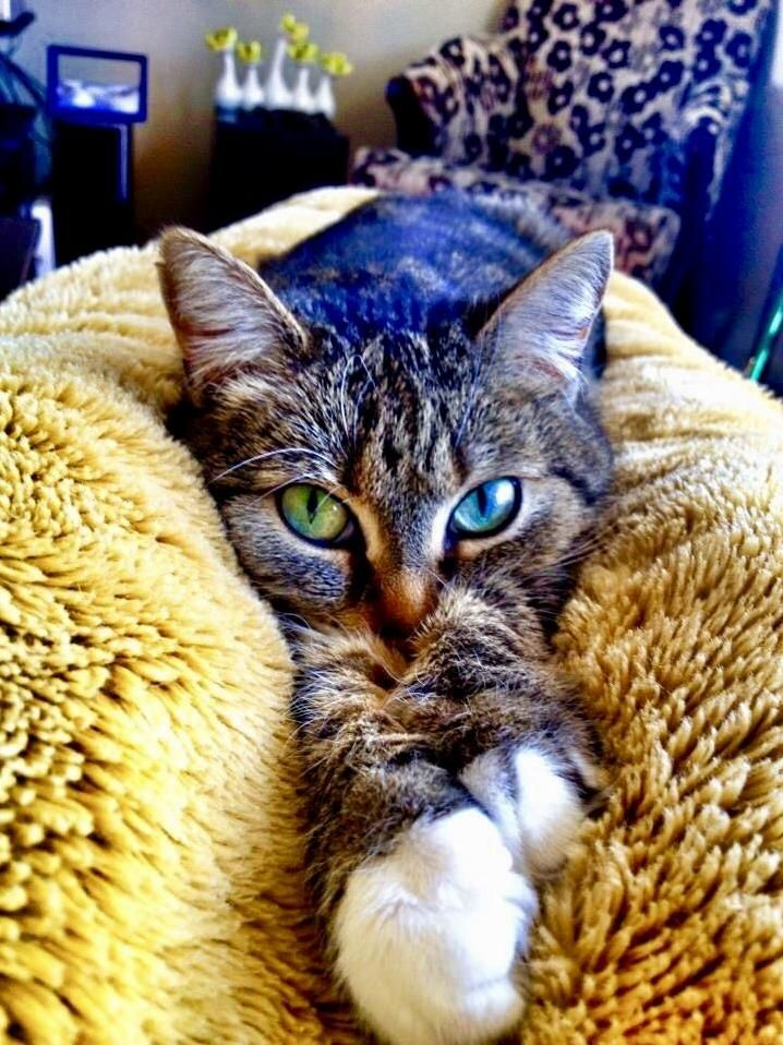 Pimpawan doing her best to wiggle in my blanket while i try to watch my muster mystery - http://cutecatshq.com/cats/pimpawan-doing-her-best-to-wiggle-in-my-blanket-while-i-try-to-watch-my-muster-mystery/