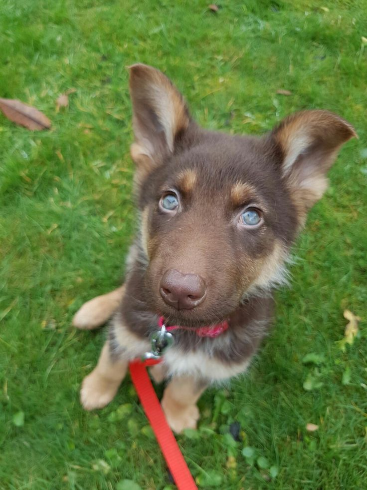 blue eye german shepherd best 25 blue german shepherd ideas on pinterest german 9886