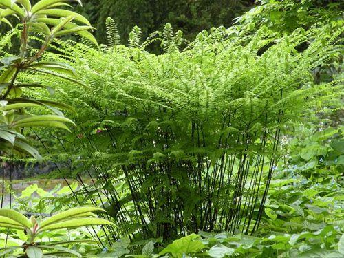Western Maidenhair fern | Great Plant Picks