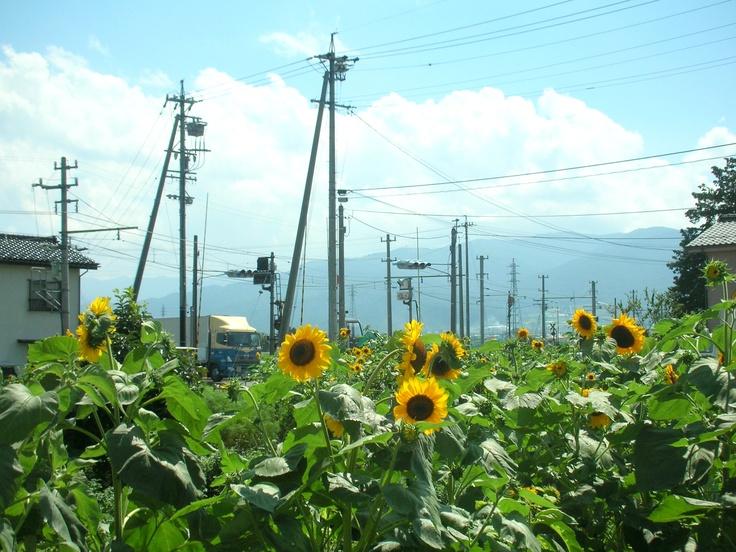 松本市新村のひまわり。