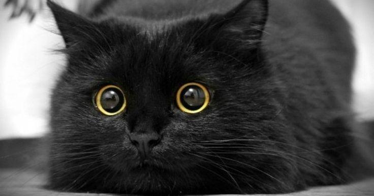 Η Μοναδική Ομορφιά που Κρύβουν οι Μαύρες Γάτες μέσα από 20 Χαρακτηριστικά Παραδείγματα. (και ΟΧΙ, δεν φέρνουν Γρουσουζιά!) Crazynews.gr