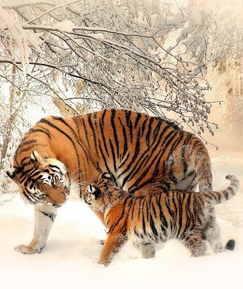 Mammal-Tiger and baby tiger in the snow.