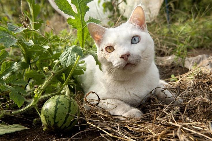Fukumaru by a watermelon