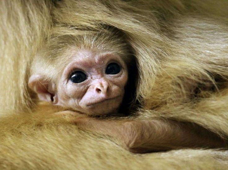 """Enfoui dans la fourrure de sa mère, ce bébé gibbon à mains blanches observe le monde de ses grands yeux neufs, le 21 novembre, au zoo de Philadephie, dans l'Etat américain de Pennsylvanie. Représentant de l'espèce """"Hylobates lar"""" – en danger selon la liste rouge de l'UICN – il est né le 2 novembre, et n'a pas encore de nom. (Matt Rourke/AP/SIPA)"""