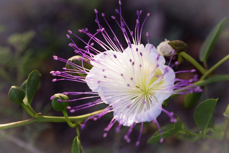 Natalya Antropova Photograph - Flower Dreams by Natalya Antropova NatalyaAntropovaFineArtPhotography#Caper#FlowerDreams# HomeDecor