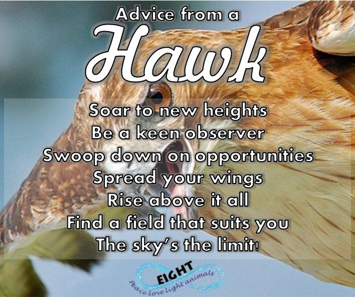 The hawk is a prevalent raptor, with widespread populations and a diverse array of preferred habitats. With an average 3+ foot wingspan, measuring in at two feet tall, piercing eyes and lethal looking claws, the hawk is an impressive figure