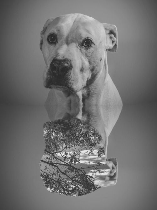 .Daisy #portrait #dog #mastifboxer #inside #nature #photography #black&white #monochrome #irvingcreaphotos #mexicanphotographer #dogsessions #yyc #calgary