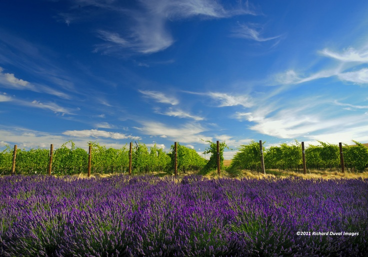 a'Maurice Cellars  (Walla Walla, WA.) Lavender in August. From the website: http://www.vinelines.com