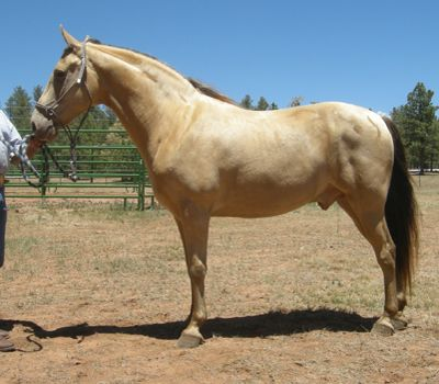 For Sale - BUCKS SPIRIT JBD #20405176 - 9 year old, 14.3 hand buckskin Tennessee Walking Horse gelding, by Brooks Major Copy, out of Sandy Spirit. He has a small head with a star, and short, cupped ears. He's built like a tank and has a gait that just won't quit. Foaled 05/10/2004. Located in New Mexico.Priced at $6,500.  http://www.trailhorsesofthewest.com/horses-for-sale.htm  http://youtu.be/VHwZpmqfAfE  http://youtu.be/U5fz4sj5_RM