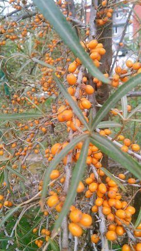 Rakytníková marmeláda s pomerančem Připravíme si 500g rakytníku, přidáme šťávu ze tří pomerančů včetně dužiny, 1 vrchovatou lžičku sušené pomerančové kůry (nebo nastrouhanou kůru z jednoho bio pomeranče) a vše povaříme 30 minut. (Plody rakytníku nabobtnají a prasknou). Vše propasírujeme přes cedník. Přidáme 1kg oloupaných jablek, které pokrájíme na malé kostičky a necháme do druhého…