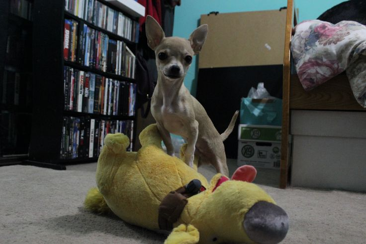 Cookie #chihuahua #puppy