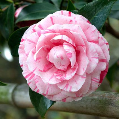 Winter at www.villalalimonaia.it In eastern cultures, Camellia is a symbol of eternal devotion between lovers. The sublime dance of petal and calyx that covers the life cycle jointly, represents the persistence of love and devotion to each other.