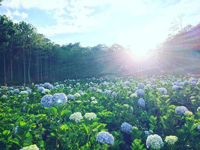 8 Things You Can T Miss When Visiting Dalat This Holiday Pink Grass Hydrangea Garden Beautiful Nature Scenes
