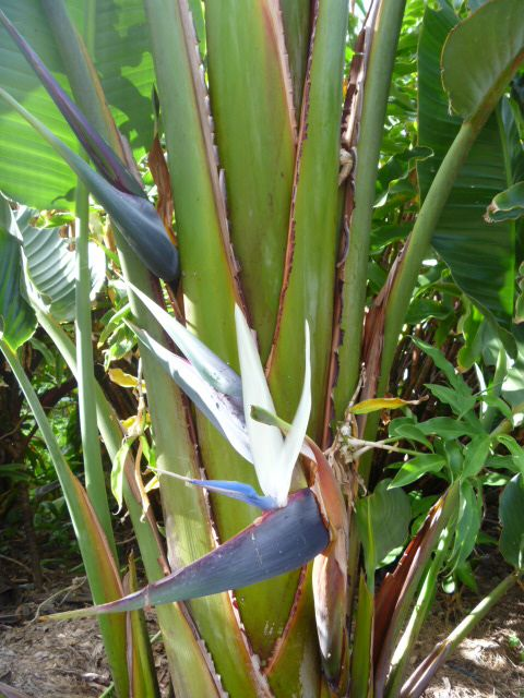 Feature plant | White/Giant Bird of Paradise (Strelitzia nicolai) flower