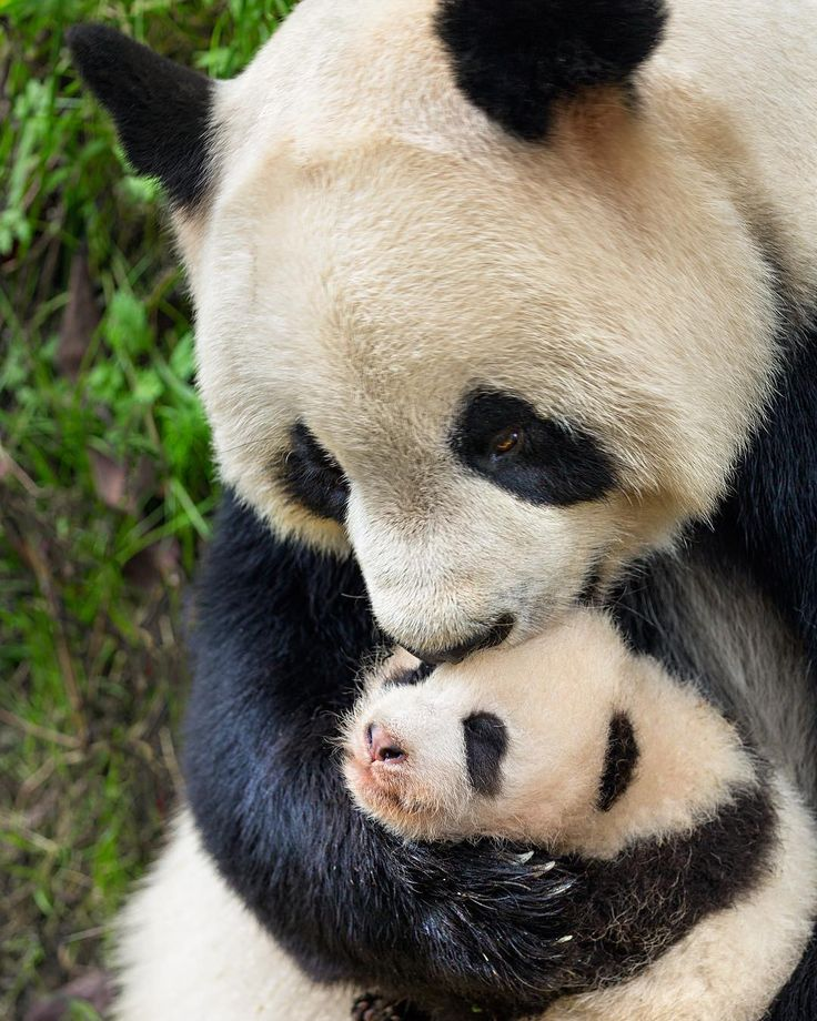 "23.6k Likes, 130 Comments - Disney (@disney) on Instagram: ""Bear hug!  See #BornInChina opening week and @disneynature will donate to World Wildlife Fund."""