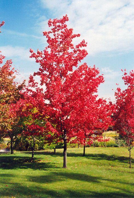 Red Maple (Acer rubrum) at Oakland Nurseries Inc