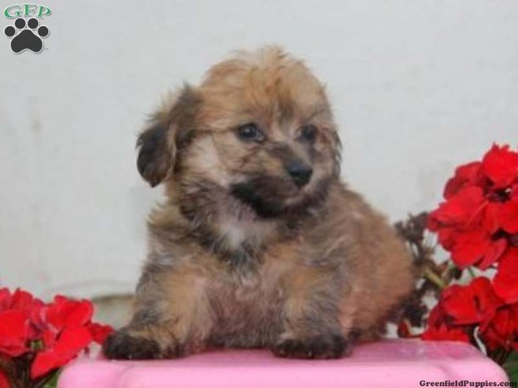 yorkie poo puppies for sale in pa yorkie poo puppies for sale in pa animals 8662