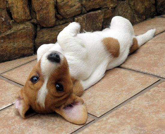 Jack Russell Terrier waits for a belly rub!