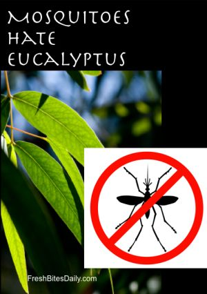 Eucalyptus Oil Prevents Mosquito Bites | Fresh Bites Daily