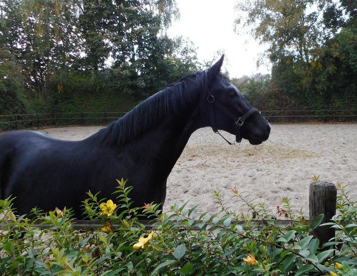 Le KWPN - La tête d'un Hollandais Sang Chaud