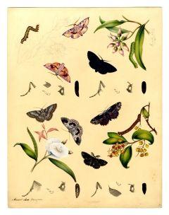 The Geometridae moth family