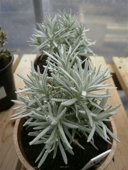 Curry Plant Herb Plant - 9cm pot grown £2.30