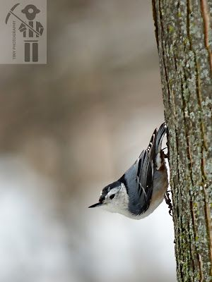 Winter Birds at Tiny Marsh White Breasted Nuthatch Hairy Woodpecker