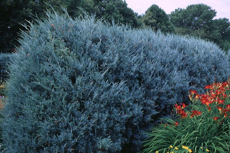 Privacy Trees Medium Size Must Haves Fast Growing