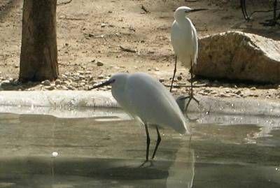 Zoobotanico Jerez :: GARCETA COMÚN