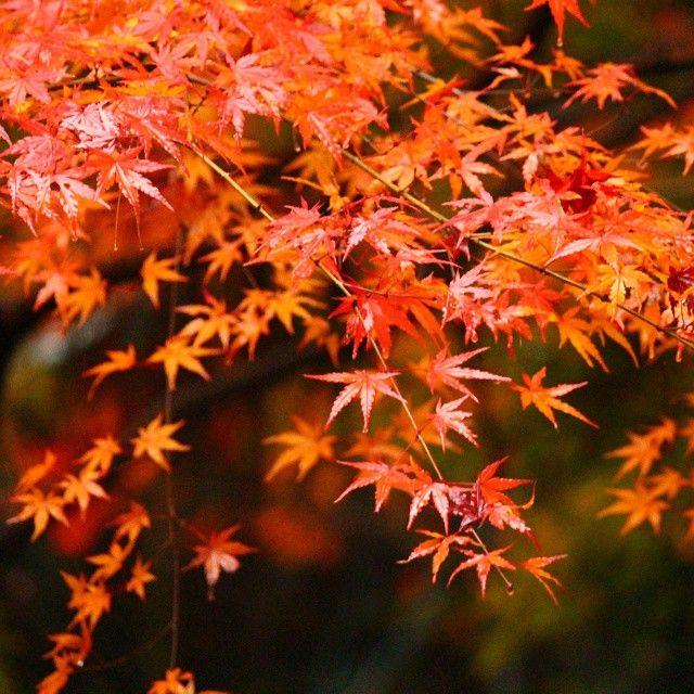 先日の風景。雨で濡れたモミジ。 Scenery of the other day. A because of rain wet maple. #寂光院 #犬山市 #愛知 #Jakkoin #紅葉 #モミジ #もみじ #カラフル #Maple #ColoredLeaves #Colorful #日本 #日本の風景 #Japan #癒し #Healing #follow #followme #instagood #instapic #instadaily #instalike #instalove #instacool #insta #beautiful #インスタ倶楽部 #おさるーず