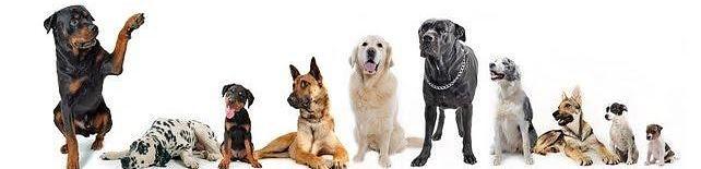 Société Canine de Nouvelle Calédonie, chiens de race, éleveurs | Rottweiler