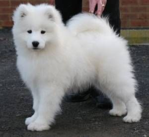 A Samusky dog it is a mix between a Siberian Husky and a Samoyed