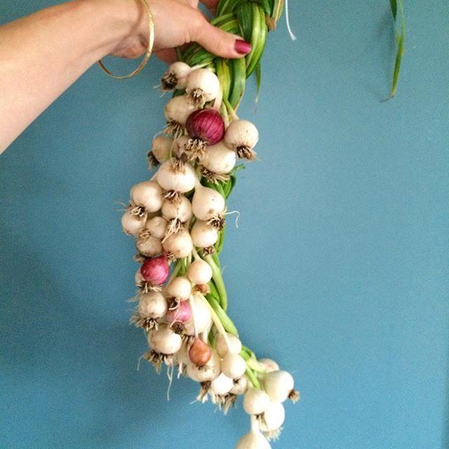 Så lenge det finnes #hvitløk er det håp!  #prosjektkjøkkenhage_2015 #selvforsynt #økologisk #kjøkkenhage #nyhagen #bryllupsmat #grønnefingre #garlic #growyourown #hyttehage #lønnforstrevet
