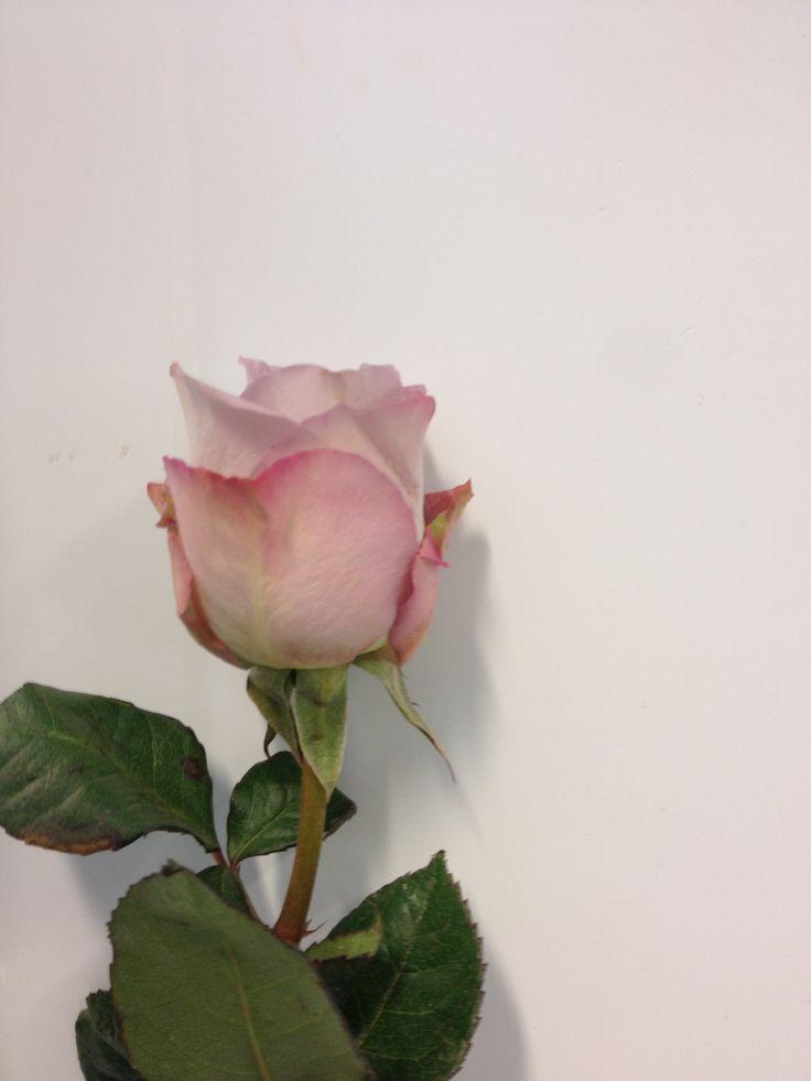 Rosa - Memory Lane - Rose - Lilla