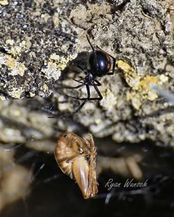 A black widow spider ready to feast on a camel cricket in a rattlesnake den in Saskatchewan