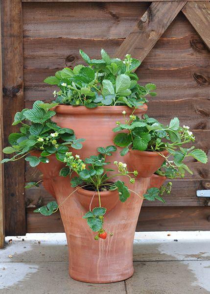 Terracotta strawberry pot - love the shape of pot.