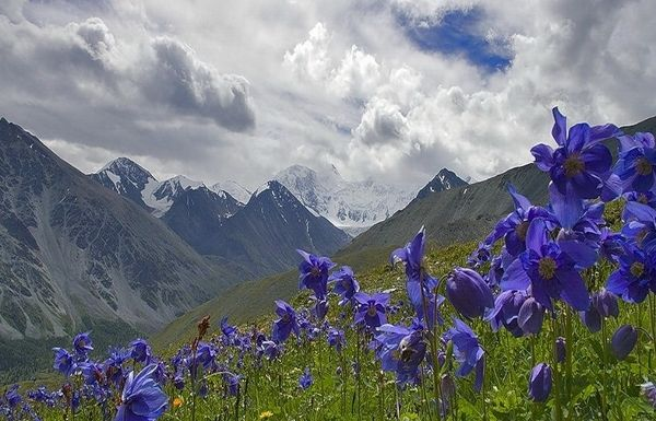 The Altai Mountains, Russia's Altai Republic: Altai Mountains, Russia, Blue Flowers, Purple Flowers, Beautiful Places, Fields Of Dreams, Blue Mountain, Photo, Planets Earth
