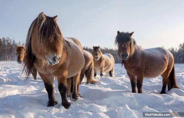 Yakutian horses. Two winter days with real Siberian horsebreeders in Yakutia, Russia. Yakutsk Winter Tour.
