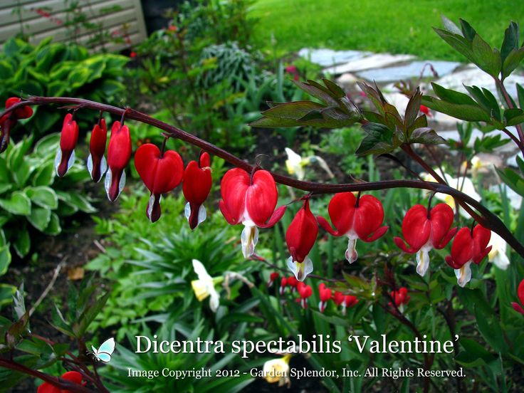 Shape: Dicentra 'Valentine' PPAF - Bleeding hearts Stunning red coloured little hearts