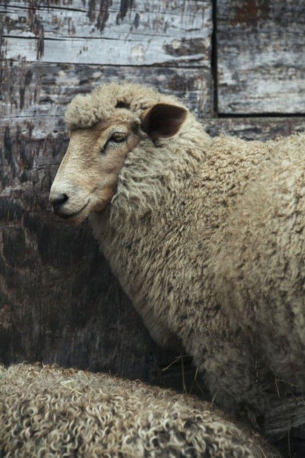 foto van schaap
