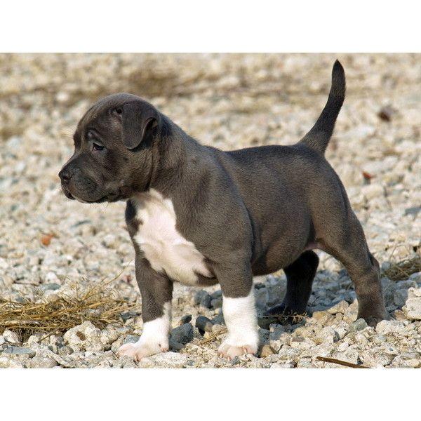 Blue Nose Pitbull Puppies ❤ I miss my karma girl soooooo much