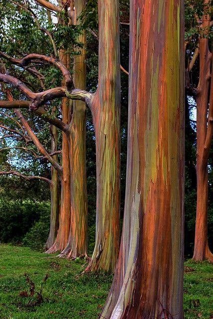 Rainbow Eucalyptus. Road to Hana, Maui. They are stunning and added to our adventure there!