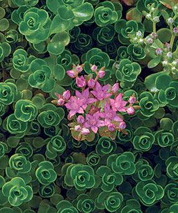 Sedum spurium 'John Creech', Zones 4 to 9 Photo/Illustration: Virginia Small