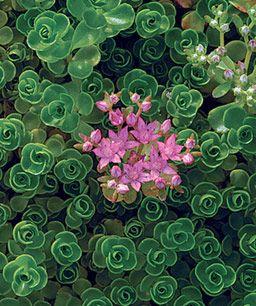 Sedum spurium 'John Creech', Zones 4 to 9 Photo/Illustration: Virginia Small