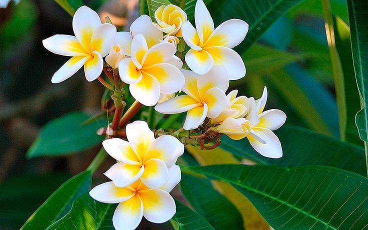 La Flor de Nicaragua. Nombre Científico: Plumeria rubia  Nombre de origen Náhuatl: Xacuanxochitl – XACUAN: Pluma amarilla preciosa - XOCHITL: Flor  Nombre Común: Sacuanjoche
